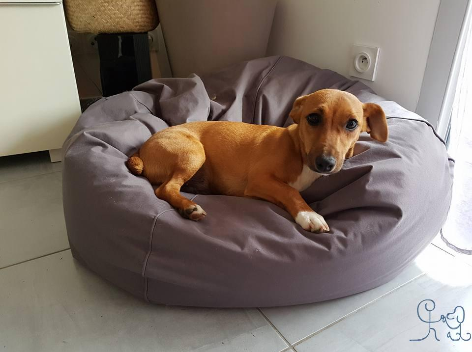 Aby, petit Jack Russell