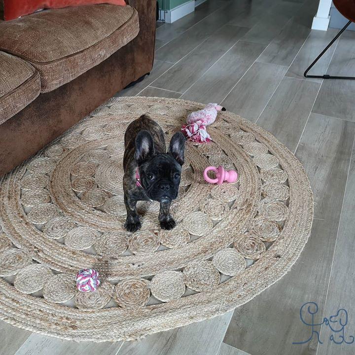 [chiots] Rose, petite #bulldogfrances, bienvenue chez #objectifchiens !