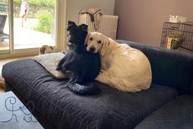 Jolene #goldenretriever et Roxy #bergeraustralien