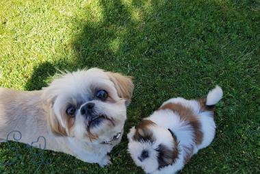 Oscar et Lola, shitzu